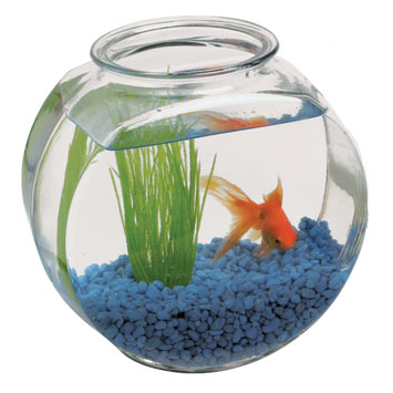 Ah 00010 drum fishbowl 1 gallon blue sky pet supply for Restaurants with fish bowl drinks near me